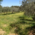 18. Olive trees and buttercup fields.