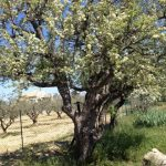 20. Land of many olive trees.
