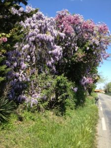 21. More wisteria on the road.
