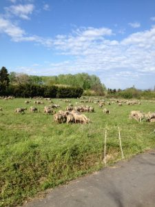 3. Sheep down from the Alps are moving from day to day grazing.