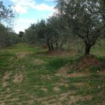 29. Olive trees already pruned.