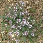 30. White wild flowers in the garrigue.
