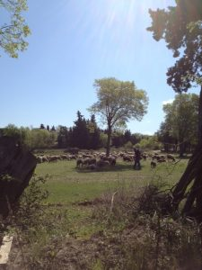 7. More sheep and the centenarian shepherd is part of local color in my village.