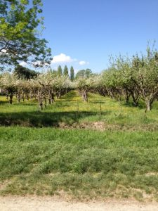 9. Orchard area of France...you can see pear and apple trees here.
